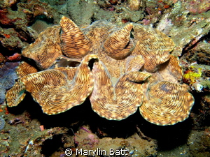Beautiful Giant Clam by Marylin Batt 